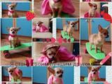 Собаки, щенки Чихуа-хуа, цена 4500 Грн., Фото