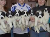 Собаки, щенки Московская сторожевая, цена 6000 Грн., Фото