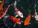 Рыбки, аквариумы Рыбки, цена 300 Грн., Фото