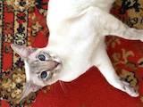 Кошки, котята Ориентальная, цена 2200 Грн., Фото