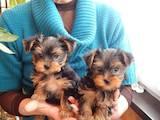 Собаки, щенки Йоркширский терьер, цена 1000 Грн., Фото