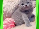 Кошки, котята Шотландская вислоухая, цена 3500 Грн., Фото