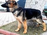 Собаки, щенята Німецька вівчарка, ціна 2700 Грн., Фото