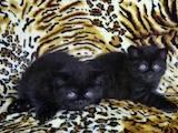 Кошки, котята Шотландская короткошерстная, цена 900 Грн., Фото