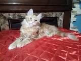 Кішки, кошенята Мейн-кун, ціна 13500 Грн., Фото