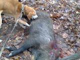 Собаки, щенята Різне, ціна 1800 Грн., Фото