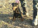 Собаки, щенята Ягдтер'єр, ціна 10000 Грн., Фото