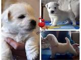 Собаки, щенята Вестхайленд уайт тер'єр, ціна 26000 Грн., Фото