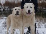 Собаки, щенята Середньоазіатська вівчарка, ціна 8555 Грн., Фото