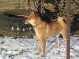 Собаки, щенята Російсько-Європейська лайка, ціна 3200 Грн., Фото