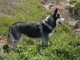 Собаки, щенки Сибирский хаски, цена 4000 Грн., Фото