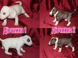 Собаки, щенята Бультер'єр, ціна 18000 Грн., Фото