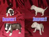Собаки, щенки Бультерьер, цена 18000 Грн., Фото