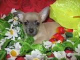 Собаки, щенки Чихуа-хуа, цена 3000 Грн., Фото