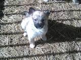 Собаки, щенята Західно-Сибірська лайка, ціна 2 Грн., Фото
