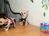 Собаки, щенята Чихуа-хуа, ціна 4000 Грн., Фото