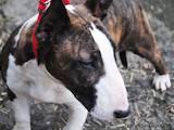 Собаки, щенята Бультер'єр, ціна 22000 Грн., Фото