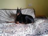 Собаки, щенята Доберман, Фото