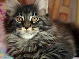Кошки, котята Мэйн-кун, цена 8600 Грн., Фото