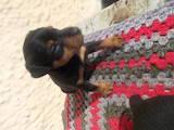 Собаки, щенки Ягдтерьер, цена 1500 Грн., Фото