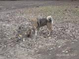 Собаки, щенята Західно-Сибірська лайка, ціна 3700 Грн., Фото