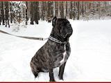 Собаки, щенята Кане Корсо, ціна 2700 Грн., Фото