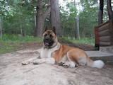 Собаки, щенки Американский акита, цена 28000 Грн., Фото