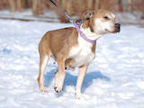 Собаки, щенки Американский стаффордширский терьер, цена 10 Грн., Фото