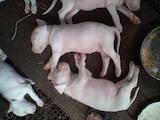 Собаки, щенята Західно-Сибірська лайка, ціна 9500 Грн., Фото