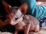 Кошки, котята Донской сфинкс, цена 2700 Грн., Фото