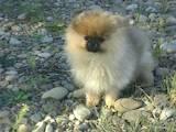 Собаки, щенята Померанський шпіц, ціна 18000 Грн., Фото