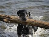 Собаки, щенки Доберман, цена 500 Грн., Фото