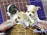 Собаки, щенки Чихуа-хуа, цена 6000 Грн., Фото