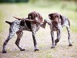 Собаки, щенята Німецька гладкошерста лягава, ціна 2000 Грн., Фото