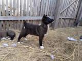 Собаки, щенята Ягдтер'єр, ціна 1300 Грн., Фото