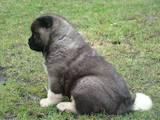 Собаки, щенята Американський акіта, ціна 32000 Грн., Фото