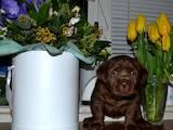 Собаки, щенята Лабрадор ретрівер, ціна 27000 Грн., Фото