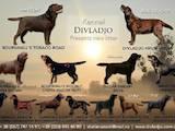 Собаки, щенки Лабрадор ретривер, цена 27000 Грн., Фото