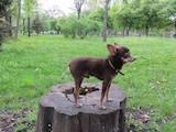 Собаки, щенята Спаровування, ціна 900 Грн., Фото