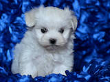 Собаки, щенки Мальтийская болонка, цена 60000 Грн., Фото