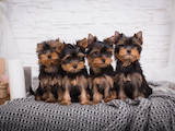 Собаки, щенята Йоркширський тер'єр, ціна 30000 Грн., Фото