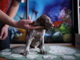 Собаки, щенята Німецька гладкошерста лягава, ціна 4000 Грн., Фото