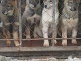Собаки, щенки Западно-Сибирская лайка, цена 10 Грн., Фото
