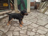 Собаки, щенята Ягдтер'єр, ціна 500 Грн., Фото