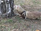Тварини Фреткі, тхори, ціна 300 Грн., Фото