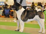 Собаки, щенята Американський акіта, ціна 27000 Грн., Фото