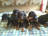 Собаки, щенята Доберман, ціна 5000 Грн., Фото