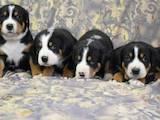 Собаки, щенята Великий Швейцарський зенненхунд, ціна 30000 Грн., Фото