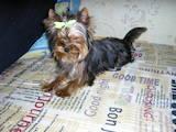 Собаки, щенята Йоркширський тер'єр, ціна 7500 Грн., Фото