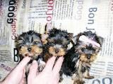 Собаки, щенки Йоркширский терьер, цена 3900 Грн., Фото